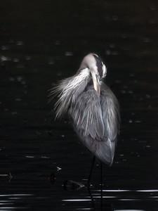Heron in the morning