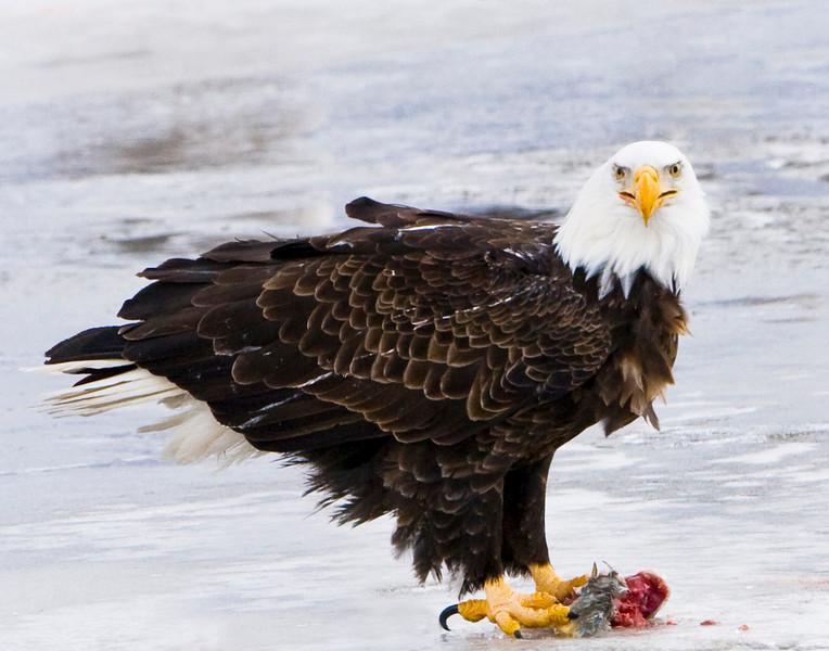 Feeding Eagle 1