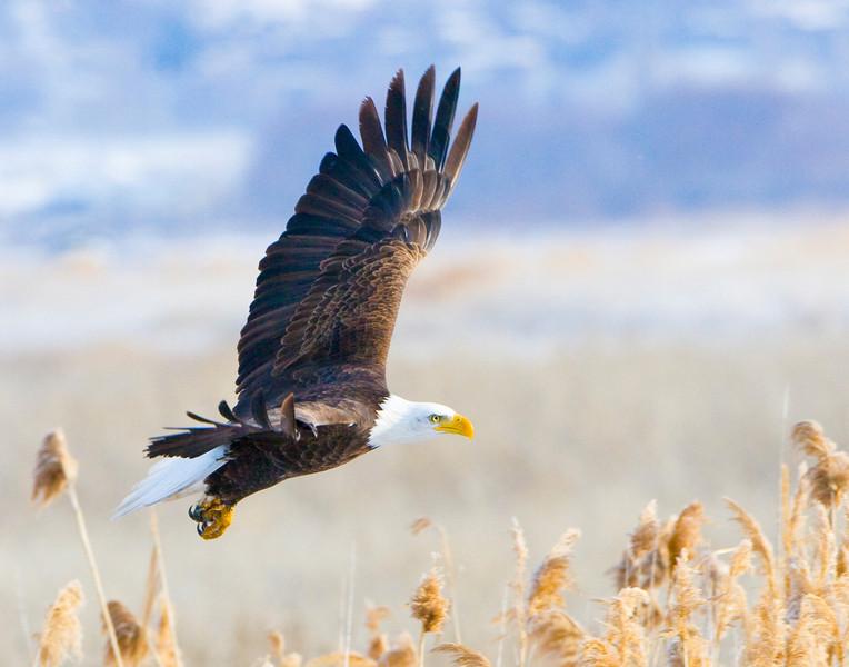 Flying Eagle Over Marsh Reeds