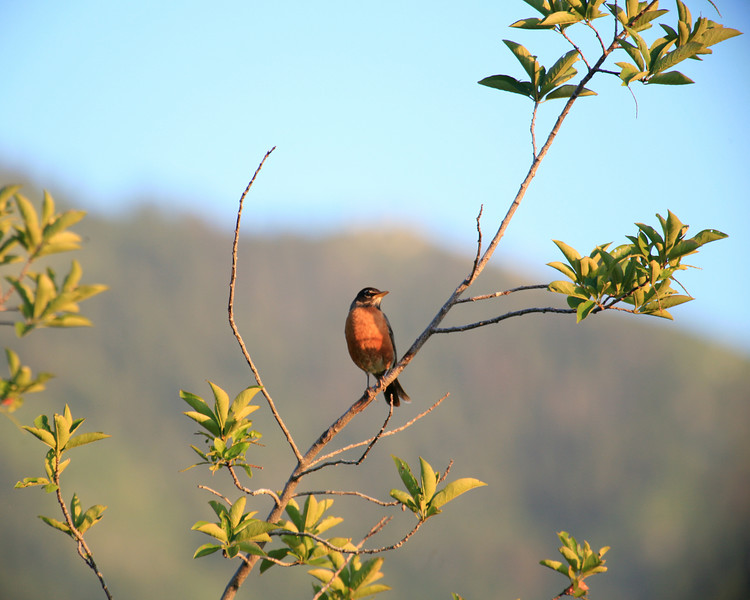 Sunset Robin On A Branch