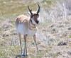 Antelope 11x14