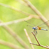 Blue Dasher dragonfly at Walden Ponds Open Space
