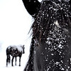 Black Horses in White Snow