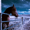 Horse in Infrared (false color processing)