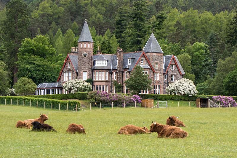Highland Cows in Scotland