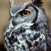 Owl, Ely, Cambridgeshire