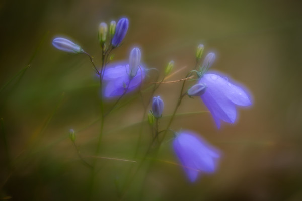 Harebells on Malvern Common