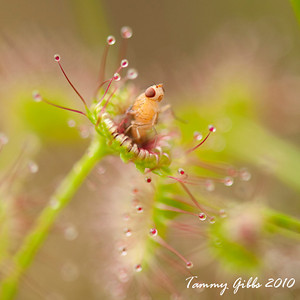 Gotcha! Ensnared by a sundew