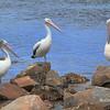 Pelican Amigos