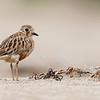 Inland Dotterel (Juvenile)