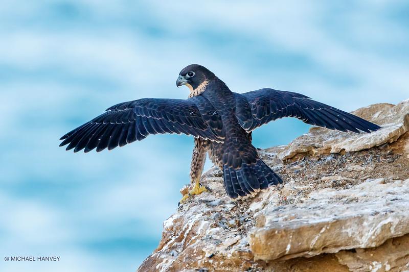 Young Peregrine Falcon (Falco peregrinus)