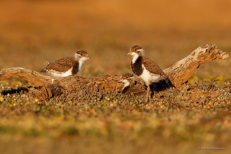 Banded Lapwing Chicks