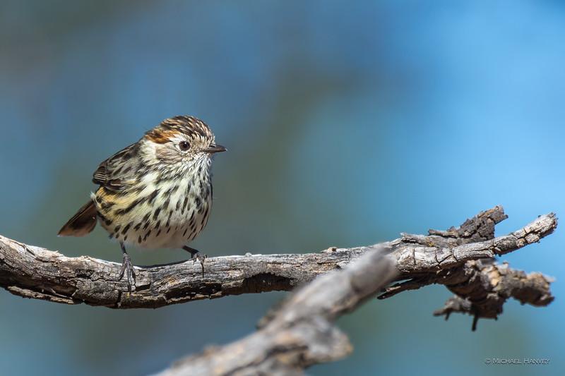 Speckled Warbler (f) (Chthonicola sagittata)