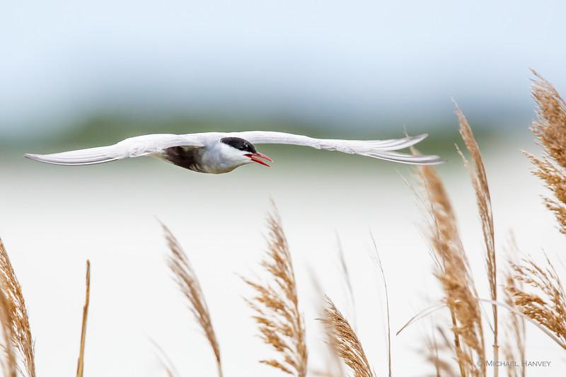 Whiskered Tern (Childonias hybridus)