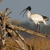 Australian White Ibis (Threskiornis molucca)