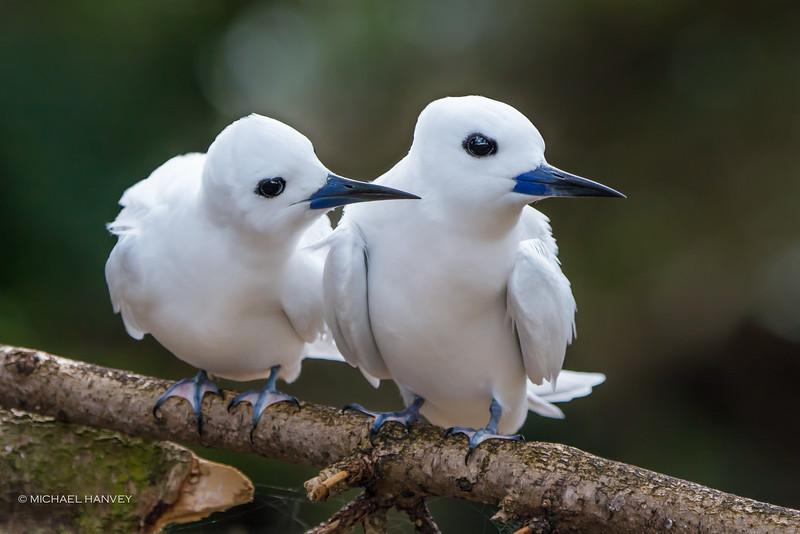 White Terns (Gygis alba)
