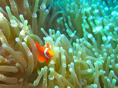 Juvenile Clown Fish in Anemone