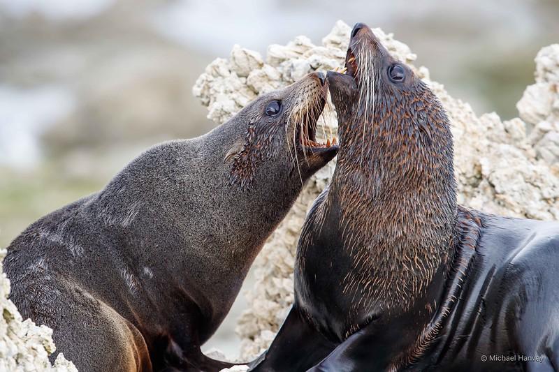 New Zealand Fur Seals (Arctocephalus fosteri)