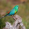 Male Red-rumped Parrot (Psephotus haematonotus)