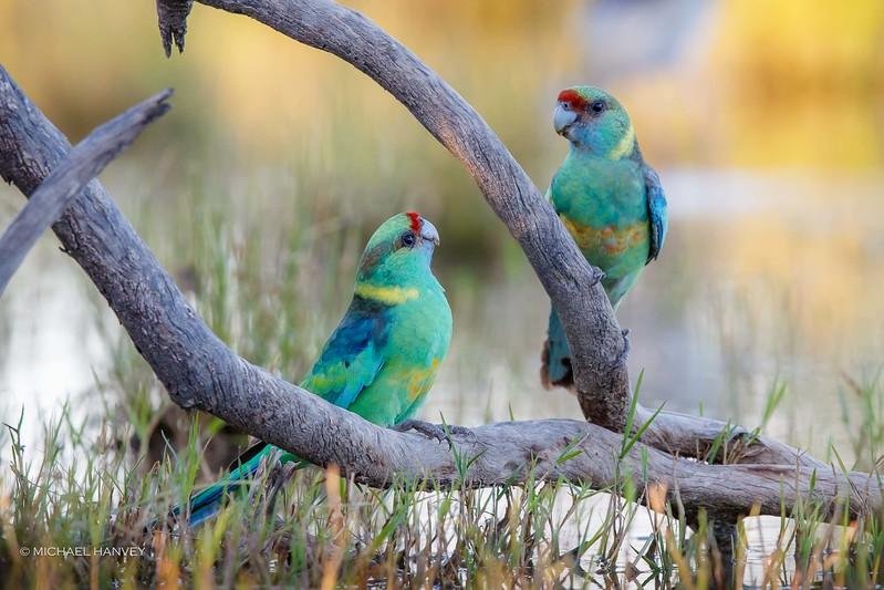 Australian Ringnecks (Mallee)