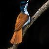 Shining Flycatcher (f) (Myiagra alecto)