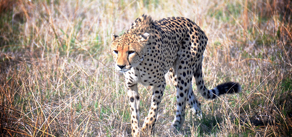 One of the 3 Cheetah Brothers of the Kwara Concession