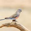 Bourke's Parrot (Neosephotus bourkii)