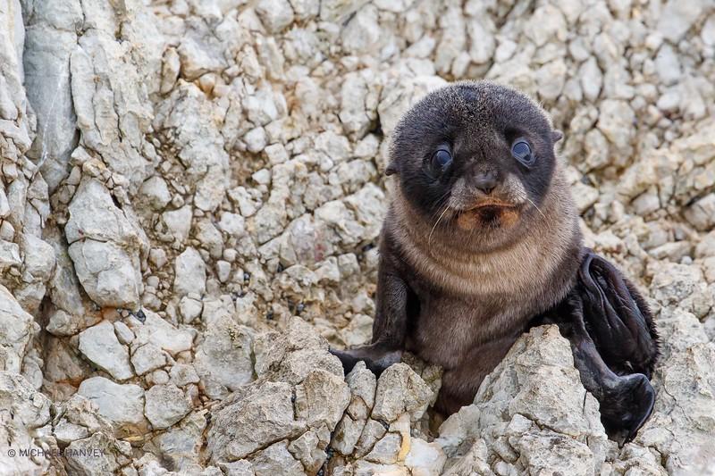 New Zealand Fur Seal Pup