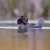 Male Musk Duck (Biziura lobata)