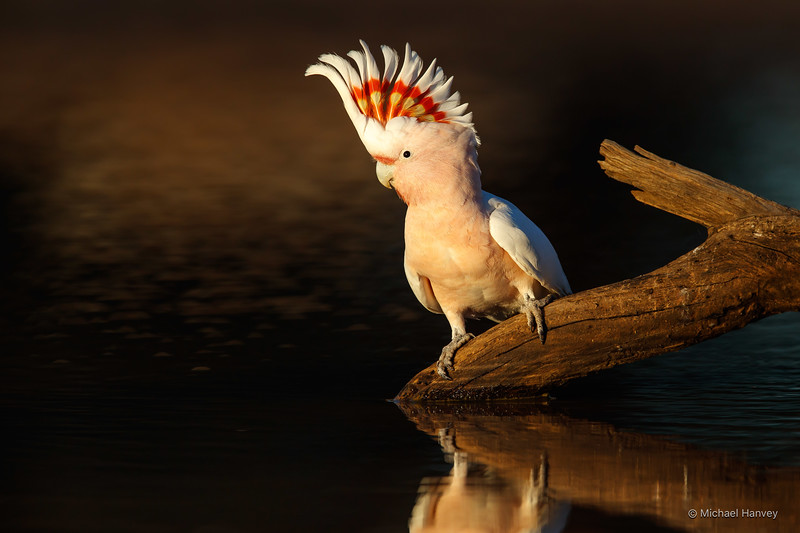 Major Mitchell's Cockatoo (Lophocroa leadbeateri)