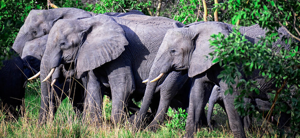 Walking Elephant Herd