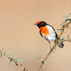 Red-capped Robin (Petroica goodenovii)