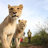 Walking with African Lions at Botlierskop Private Game Reserve.