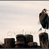 © Paul Conrad/Pablo Conrad Photography  A Great Blue Heron (Ardea herodias fannini) dancing on old pilings in Bellingham, WA: