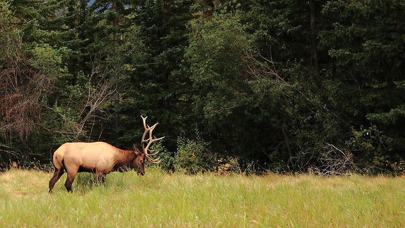 Male Elk. The female and their calf were further away
