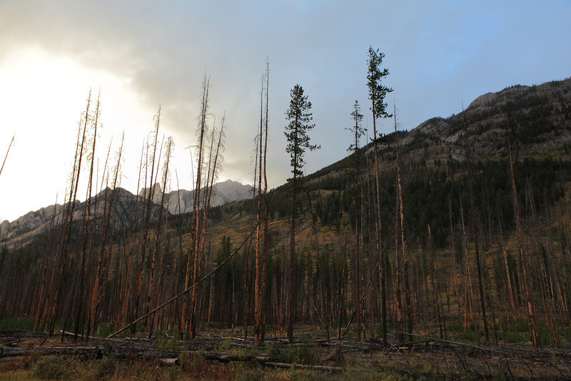 Remains of a prescribed burn of this part of the forest in bow valley.