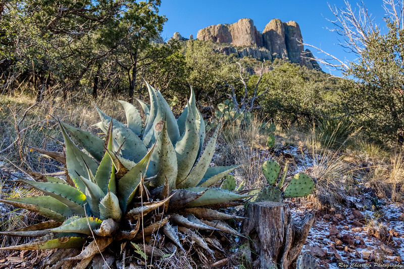 Agave on the Lost Mine Trail