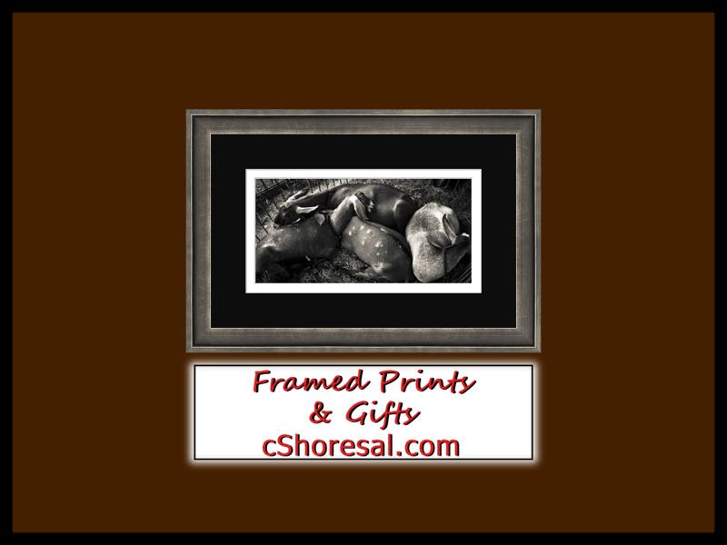 FramedPrintsGifts_Goats