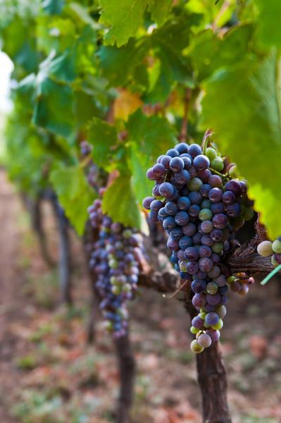 Sicilian Vineyard, Mount Etna