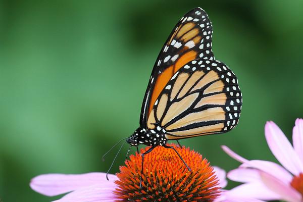 Monarch Butterfly D (Danaus plexippus)