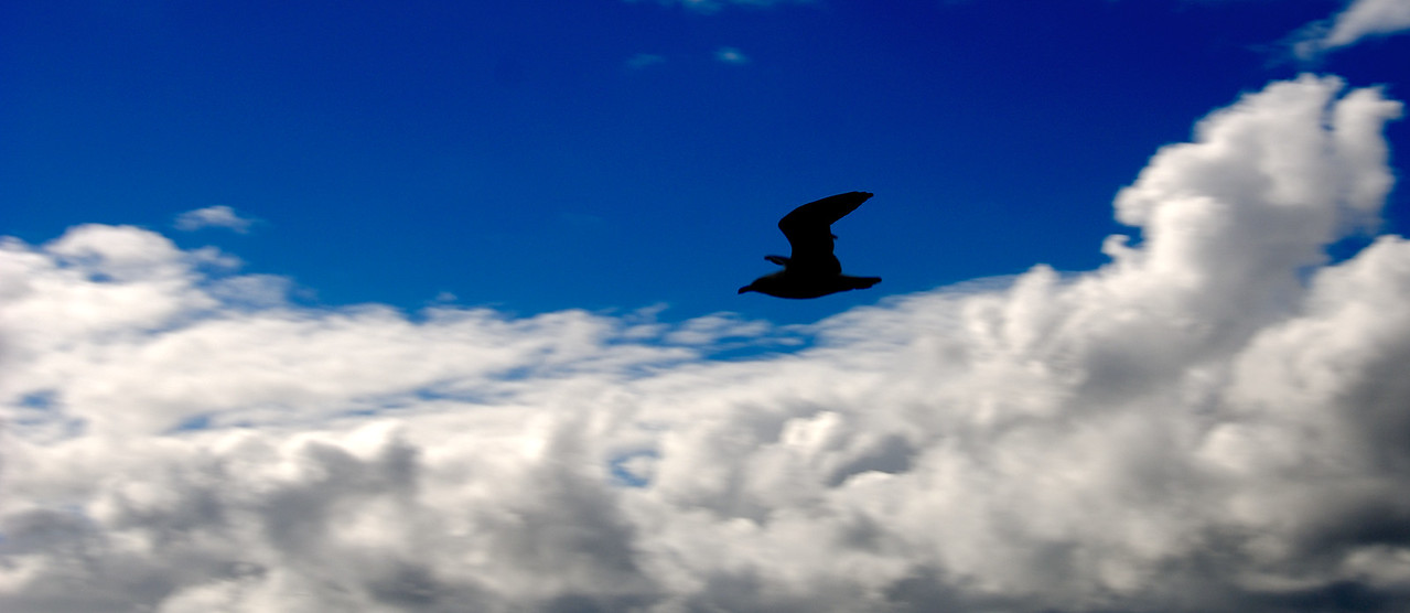 Seagull in flight, Terrigal, Australia