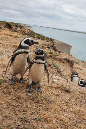 Posing Pretty Penguins
