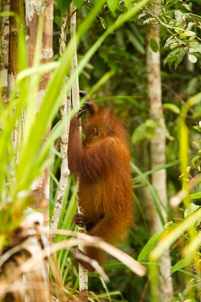 first wild orangutan spotting