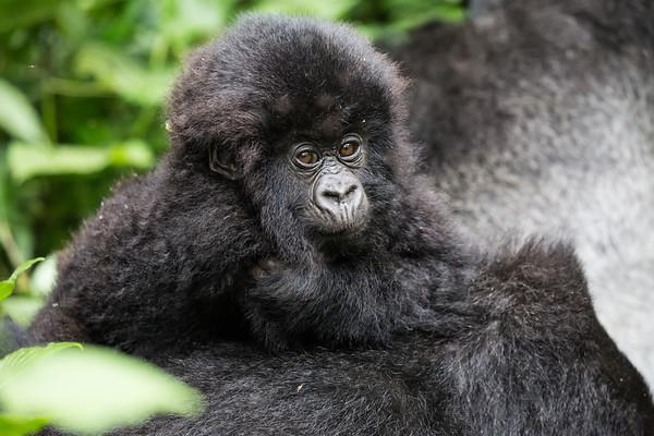 Baby Gorilla - Humba family