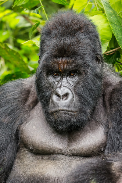 Silverback Gorilla  | Virunga National Park