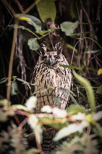 Madagascar Long-eared Owl