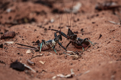 Giant Katydids preparing to fight ( Colossopus grandidieri)