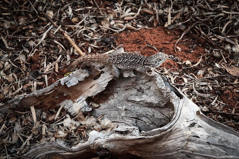Madagascan Spiny-tailed Iguana