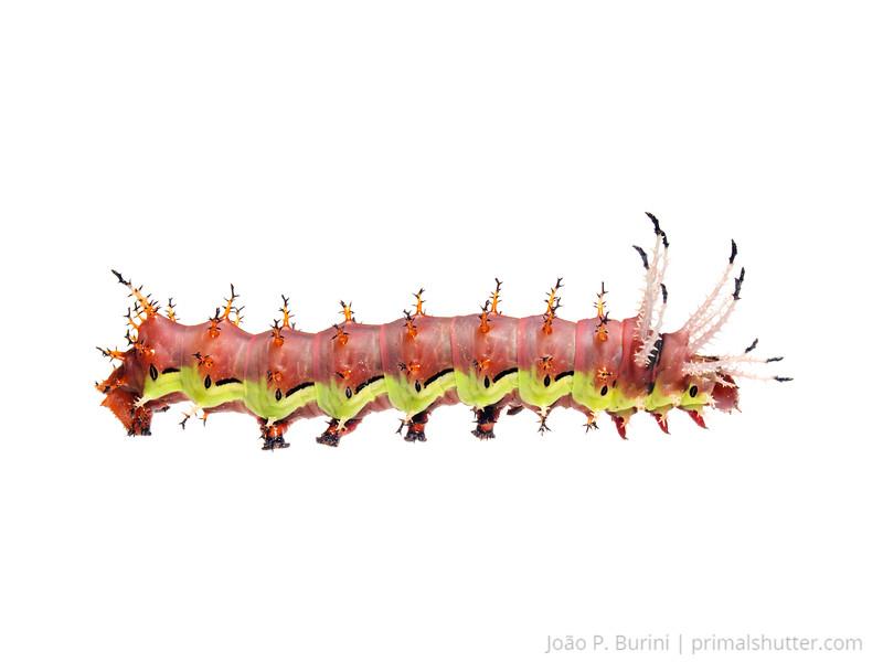Regal moth caterpillar (Citheronia laocoon) Sorocaba, SP, Brazil Urban October 2013