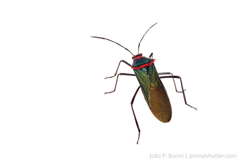 True bug (Coreidae: Sphictyrtus chryseis) Sorocaba, SP, Brazil June 2012 Urban